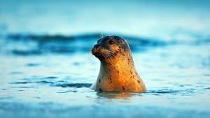 Atlantic Grey Seal, Halichoerus grypus, portrait in the dark blue water wit morning sun, animal swimming in the ocean waves, Helgoland island, Germany